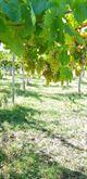 Uva rossa MERLOT e uva bianca Malvasia